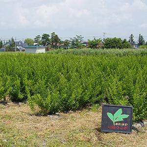 米沢の契約農家にて栽培された品質の高いうこぎ