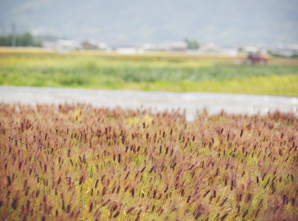 もち麦 特選大粒 ダイシモチ 紫(45g×5個)
