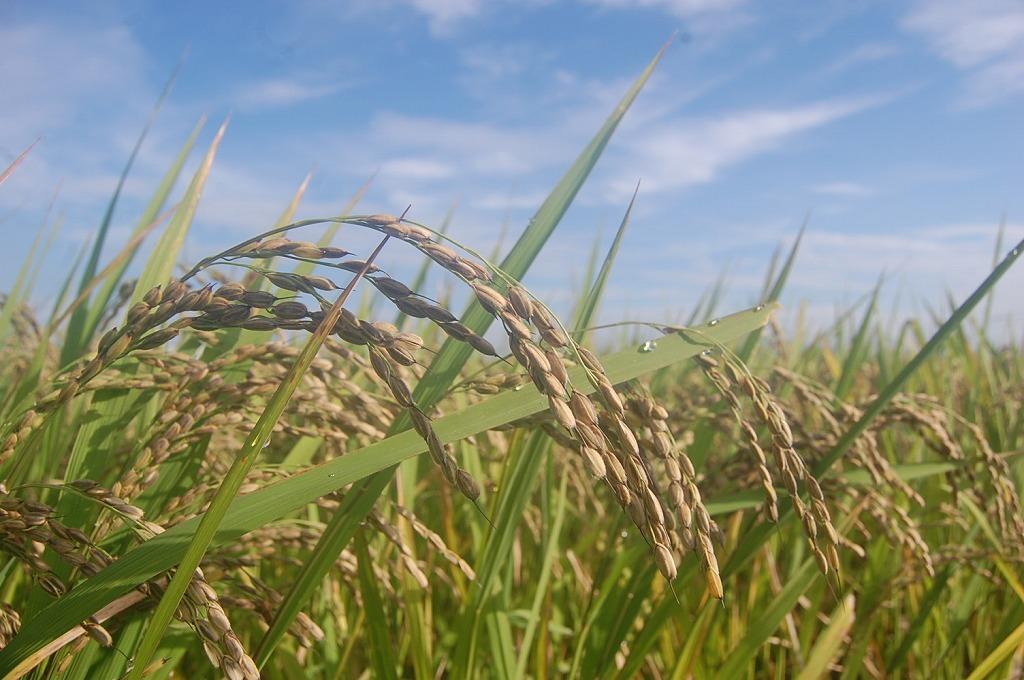 無農薬 有機肥料 令和2年産 コシヒカリ 白米(25kg)
